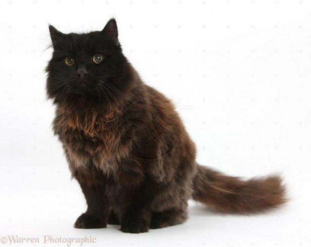 Gambar Jenis Jenis Kucing Dan Harganya york cat