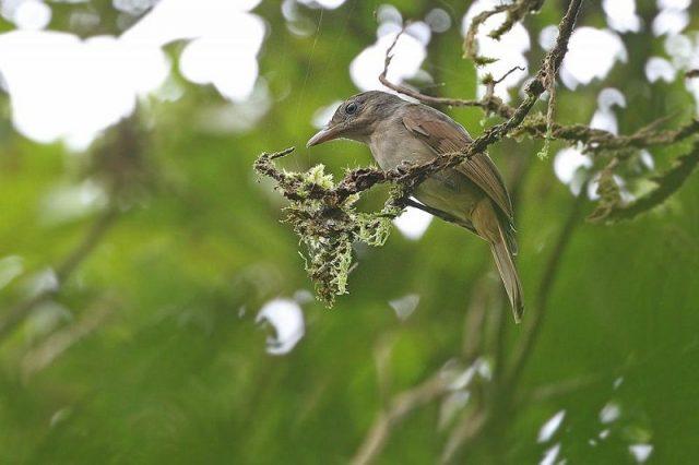 Gambar Nama Nama Burung Langka Di Indonesia Anis Bentet Sangihe (Colluricincla Sanghirensis)