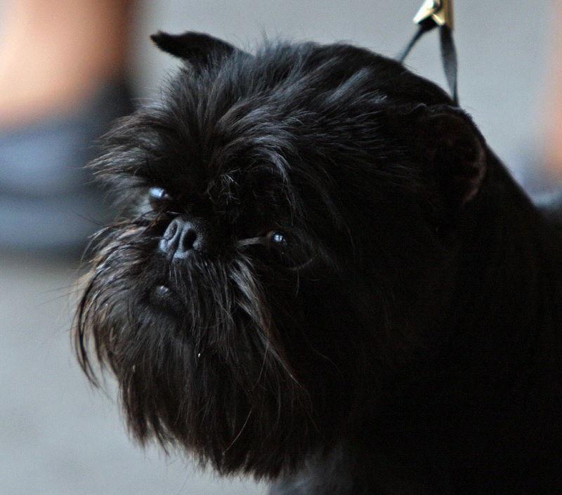 Gambar Karakter Anjing Affenpinscher