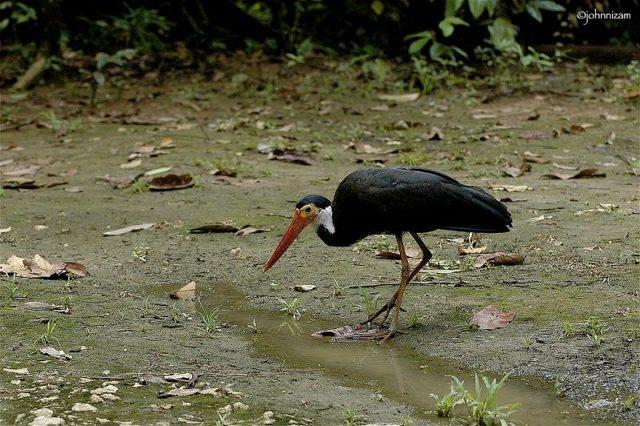 Gambar Nama Nama Burung Langka Di Indonesia Bangau Storm (Ciconia stormi)