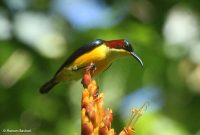 Gambar Nama Nama Burung Langka Di Indonesia Burung Madu Sangihe (Aethopyga duyvenbodei)