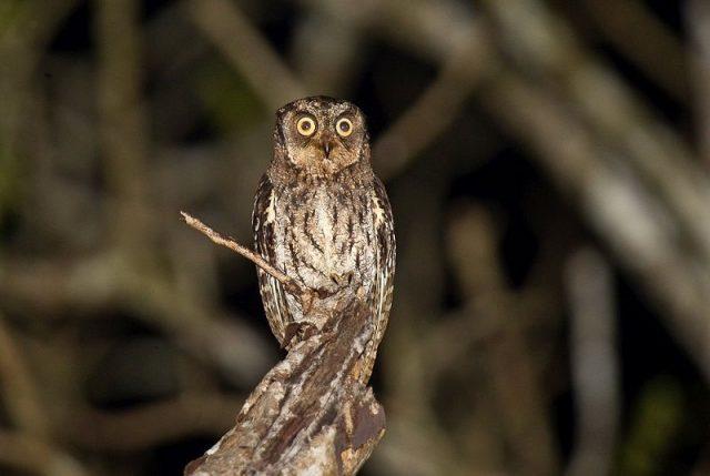 Gambar Nama Nama Burung Langka Di Indonesia Celepuk Biak (Otus beccarii)
