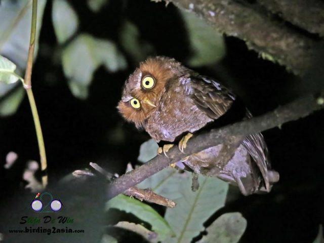 Gambar Nama Nama Burung Langka Di Indonesia Celepuk Flores (Otus alfredi)