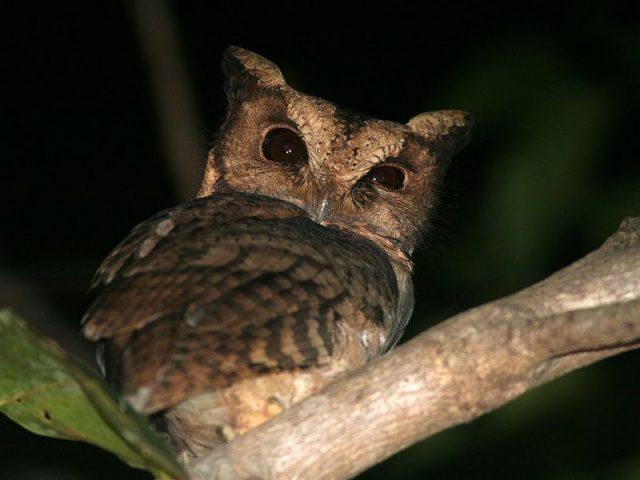 Gambar Nama Nama Burung Langka Di Indonesia Celepuk Siau (Otus siaoensis)