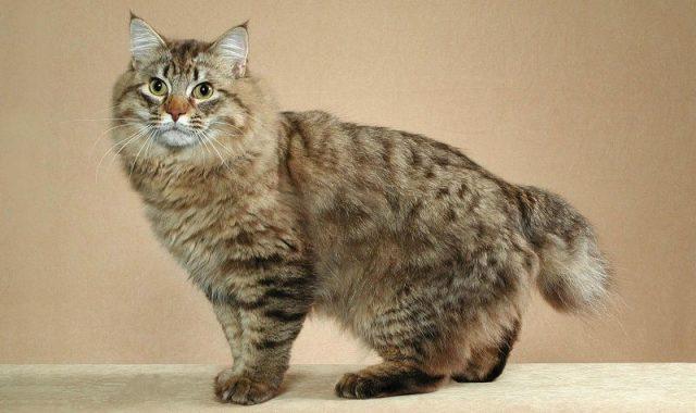 Gambar Ciri Ciri Kucing American Bobtail
