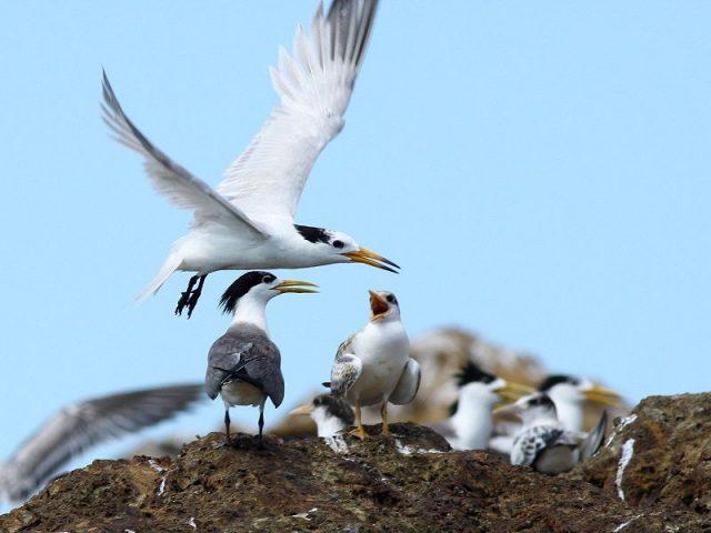 Gambar Nama Nama Burung Langka Di Indonesia Dara Laut China (Sterna bernsteini)
