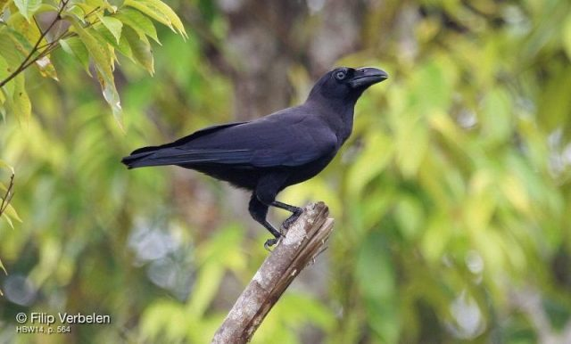 Gambar Nama Nama Burung Langka Di Indonesia Gagak Banggai (Corvus unicolor)