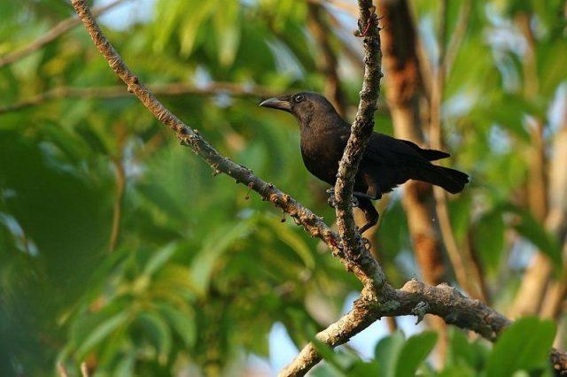 Gambar Nama Nama Burung Langka Di Indonesia Gagak Flores (Corvus florensis)