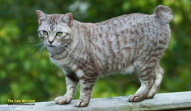 Gambar Harga Kucing American Bobtail