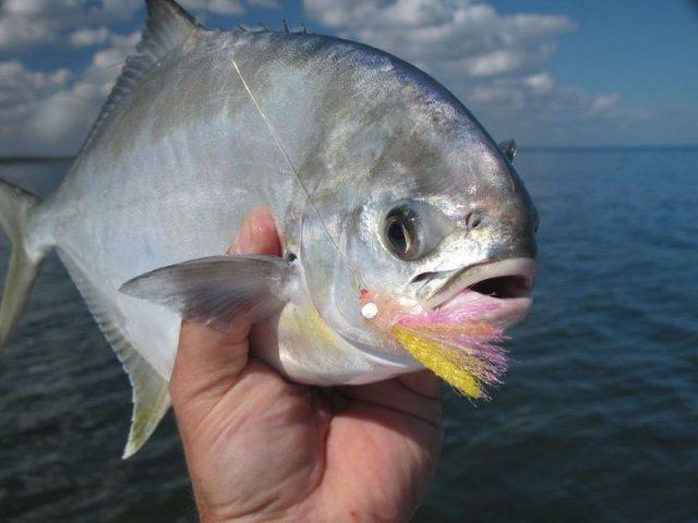 Gambar Ikan Laut Dangkal-ikan pompano