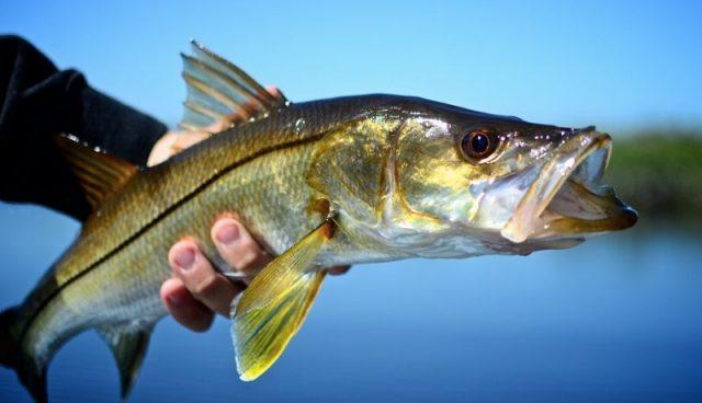 Gambar Ikan Laut Dangkal-ikan snook