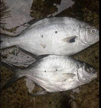 Gambar Ikan Taking