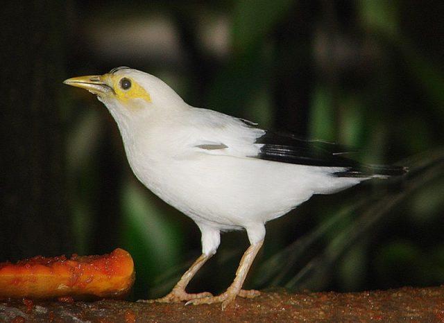 Gambar Nama Nama Burung Langka Di Indonesia Jalak Putih (Sturnus melanopterus)