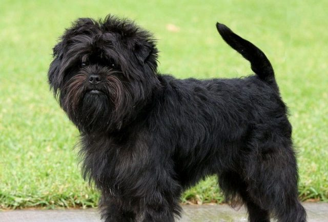 Foto Dan Gambar Karakter Anjing Affenpinscher
