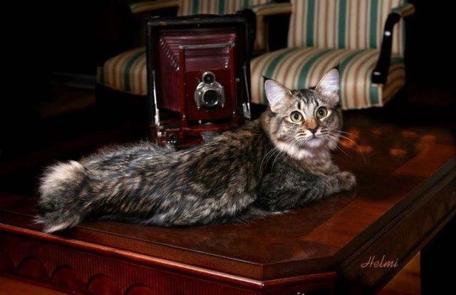 Gambar Karakter Kucing American Bobtail