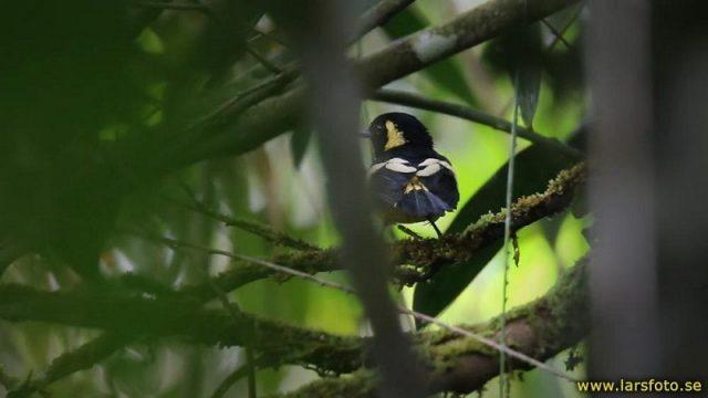 Gambar Nama Nama Burung Langka Di Indonesia Kehicap Biak (Monarcha brehmii atau Symposiachrus brehmii)