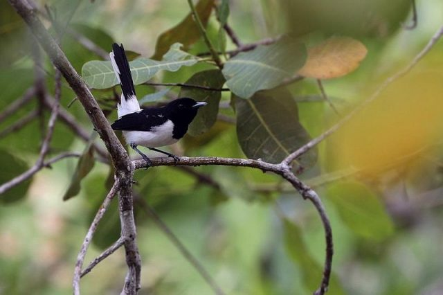 Gambar Nama Nama Burung Langka Di Indonesia Kehicap Tanah Jampea (Monarcha everetti / Symposiachrus everetti)