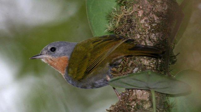Gambar Nama Nama Burung Langka Di Indonesia Opior Buru (Madanga ruficollis)