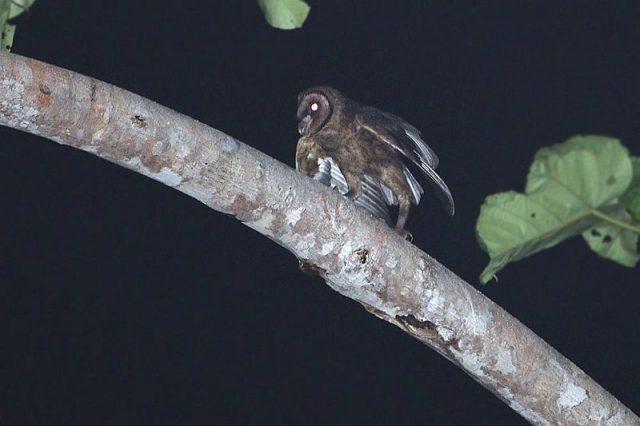 Gambar Nama Nama Burung Langka Di Indonesia Serak Taliabu (Tyto nigrobrunnea)