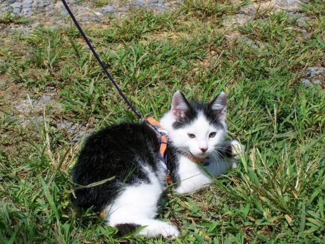Gambar Sifat Kucing American Bobtail
