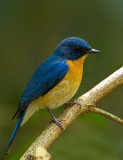 Gambar Nama Nama Burung Langka Di Indonesia Sikatan Aceh (Cyornis ruckii)