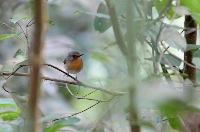 Gambar Nama Nama Burung Langka Di Indonesia Sikatan Lompobattang (Ficedula bonthaina)