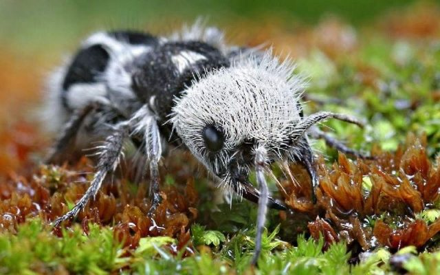 Gambar Dan Foto The panda ant ( Euspinolia militaris ) - Serangga Paling Langka