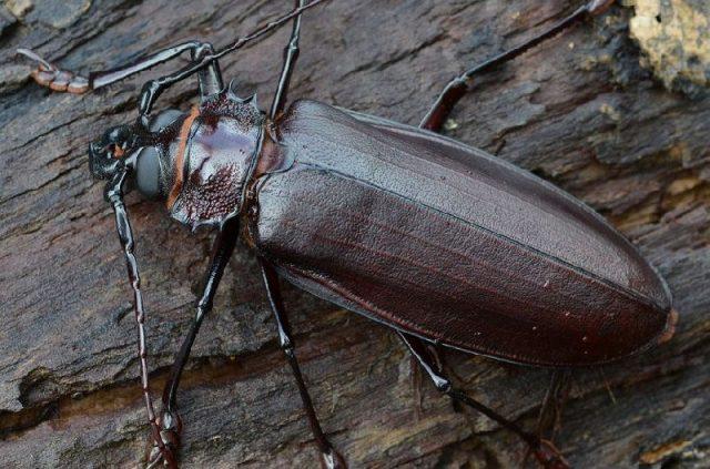 Gambar Dan Foto The titan beetle ( Titanus giganteus ) - Serangga Paling Langka