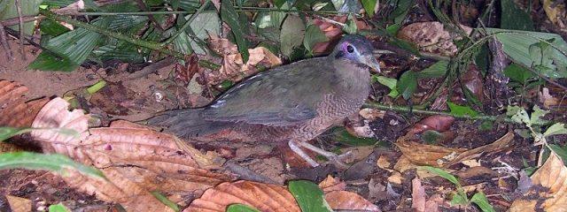 Gambar Nama Nama Burung Langka Di Indonesia Tokhtor Sumatera (Carpococcyx viridis)