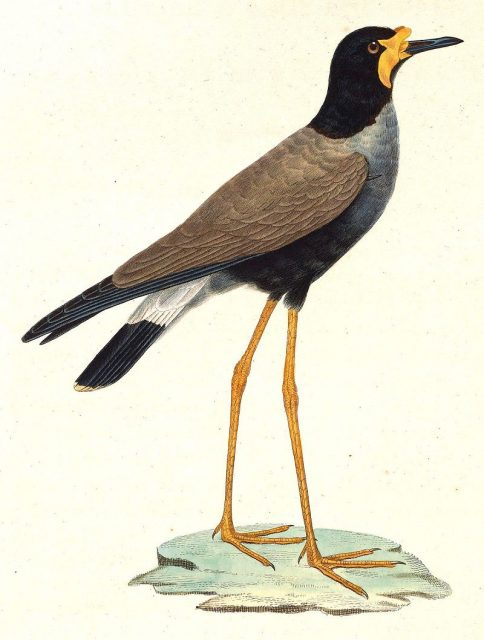 Gambar Nama Nama Burung Langka Di Indonesia Trulek Jawa (Vanellus macropterus)