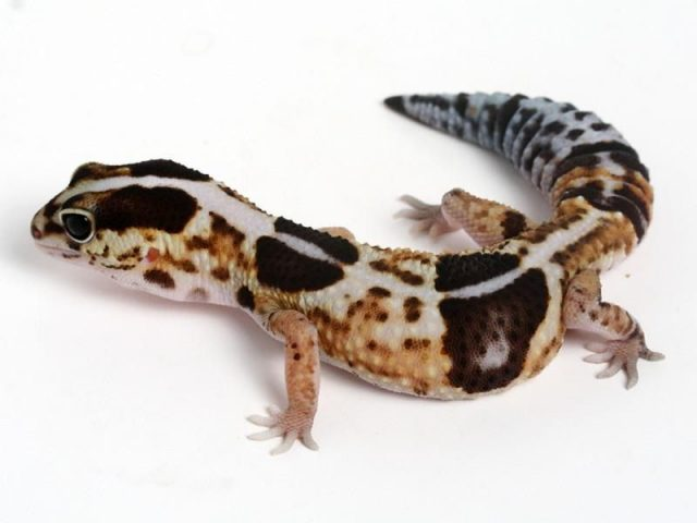 African fat-tailed gecko ( Hemitheconyx caudicinctus ) Jenis Kadal Yang Bisa Dipelihara