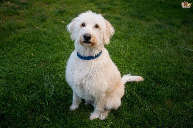Anjing Labrador Nama Hewan Dari Huruf L