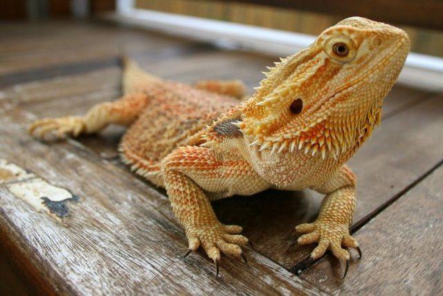 Gambar Bearded Dragon ( Pogona vitticeps ) Jenis Kadal Yang Bisa Dipelihara