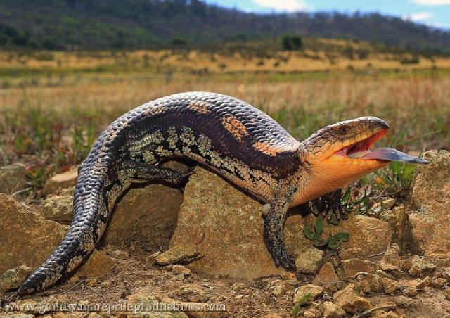 Gambar Blue Tongued Skinks ( Tiliqua sp ) Jenis Kadal Yang Bisa Dipelihara