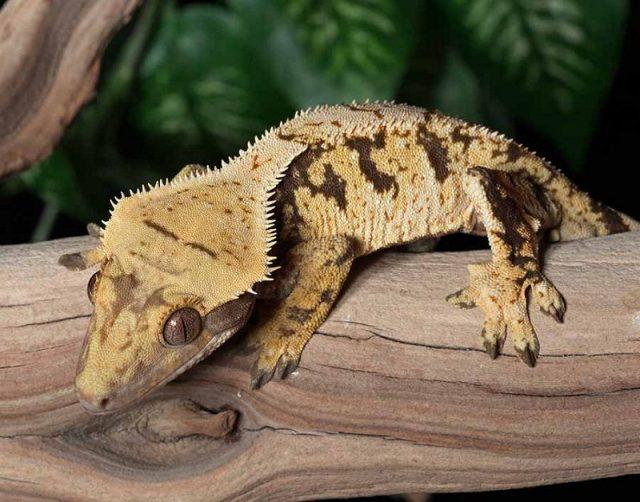 Crested Gecko ( Rhacodactylus ciliatus ) Jenis Kadal Yang Bisa Dipelihara
