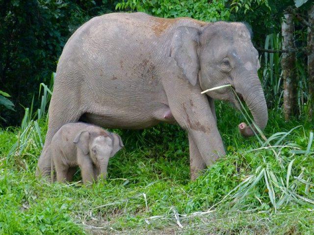 Gambar Gajah Kalimantan Dan