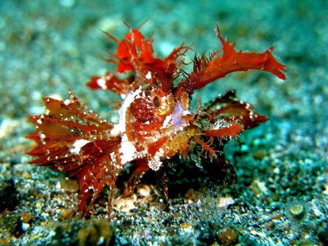 Gambar Ikan Hias Air Laut Ambon scorpionfish