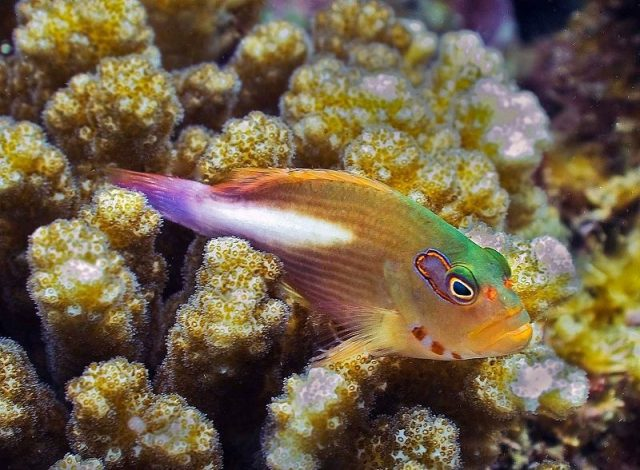 Gambar Ikan Hias Air Laut Arc eye hawkfish