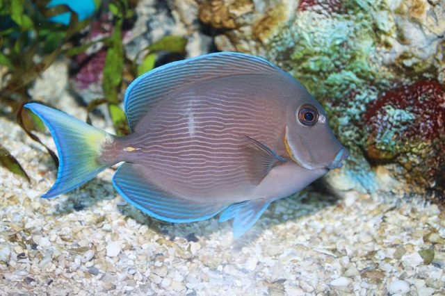 Gambar Ikan Hias Air Laut Atlantic blue tang