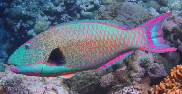 Gambar Ikan Hias Air Laut Bicolor parrotfish