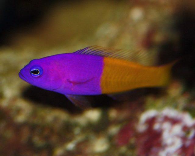 Gambar Ikan Hias Air Laut Bicolor pseudochromis