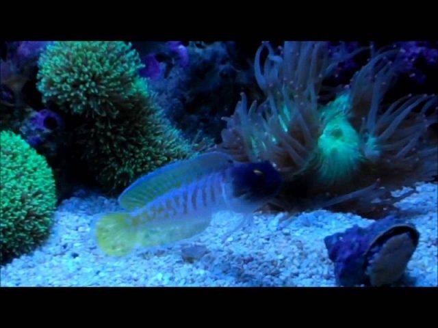 Gambar Ikan Hias Air Laut Black cap jawfish