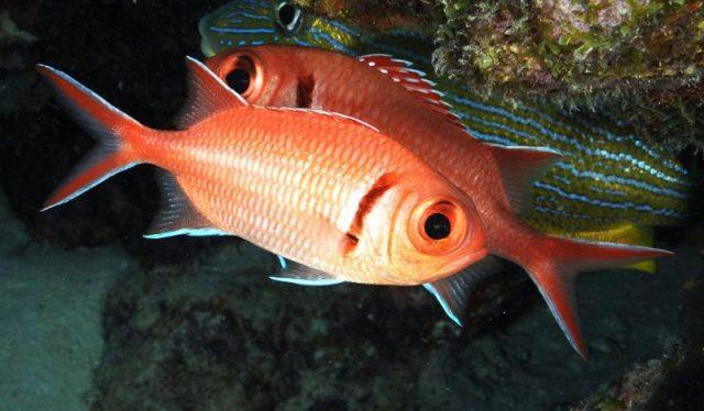 Gambar Ikan Hias Air Laut Blackbar soldierfish