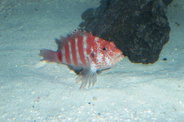 Gambar Ikan Hias Air Laut Blood red hawkfish