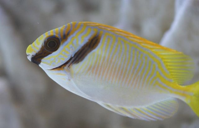 Gambar Ikan Hias Air Laut Blue-Lined Rabbitfish