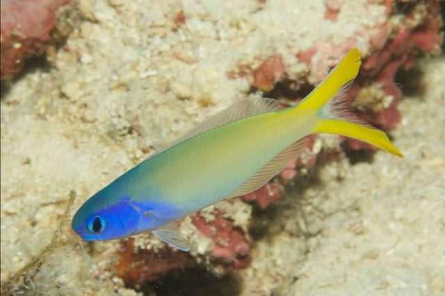 Gambar Ikan Hias Air Laut Blue-headed tilefish