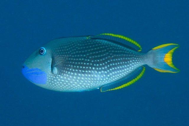 Gambar Ikan Hias Air Laut Blue jaw trigger atau blue throat trigger