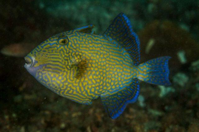 Gambar Ikan Hias Air Laut Blue line trigger