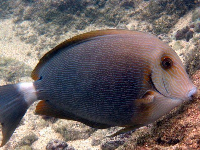 Gambar Ikan Hias Air Laut Blue lined surgeonfish