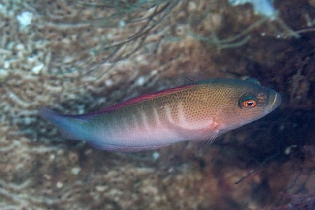 Gambar Ikan Hias Air Laut Bluelined dottyback